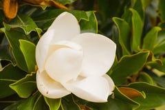 Vit magnolia Royaltyfri Foto