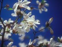 Vit magnolia i blom mot den blåa himlen. Royaltyfria Foton