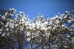 Vit magnolia mot blå himmel royaltyfri bild