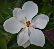 Vit magnolia på träd Arkivfoto