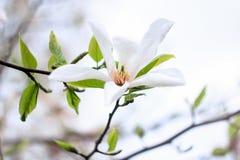 Vit magnoliablomma med gröna sidor Royaltyfri Fotografi
