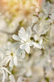 Vit magnoliablomma mot solnärbilden Arkivfoton