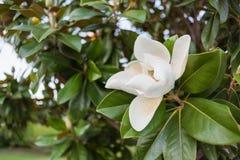 Vit magnoliablomma som cirklas av de gröna sidorna Arkivbilder