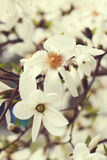 Vit magnoliablomning Royaltyfri Fotografi