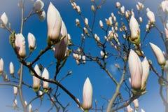 Vit magnoliablomning för vår på bakgrund för blå himmel, slut upp royaltyfria foton