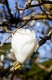 Vit magnoliaträdblomma Arkivbild