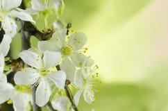 Vit makro för körsbärsröd blomning Royaltyfria Bilder