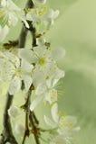 Vit makro för körsbärsröd blomning Royaltyfri Bild