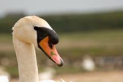Vit male swan Arkivbilder