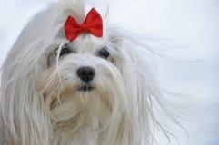 Vit maltese hund med en röd pilbåge Royaltyfri Fotografi
