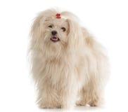 Vit maltesisk hund på vit bakgrund Arkivbilder