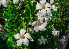 Vit Mandeville klocka formad trattblomma utomhus i trädgården arkivfoton