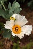 Vit Matilija vallmo, Romneyatrichocalyx, blomma Royaltyfri Foto