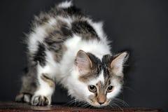Vit med den randiga katten för fläckar royaltyfri bild