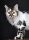Vit med den randiga katten för fläckar arkivbilder