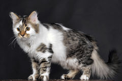 Vit med den randiga katten för fläckar royaltyfria foton