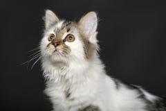 Vit med den randiga katten för fläckar royaltyfri foto