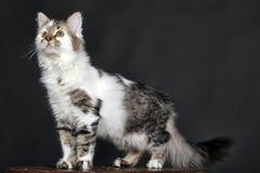 Vit med den randiga katten för fläckar arkivfoton