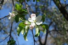 Vit med enpetaled äppleblomma för rosa dragning Arkivbilder