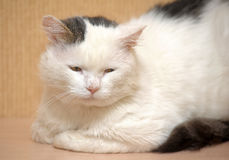 Vit med grå färger spots en katt Arkivfoto