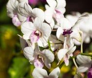 Vit med purpurfärgade orkidéblommor Arkivbild