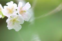Vit med rosa Cherry Blossoms Soft bakgrund Arkivbilder