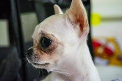 Vit mini- chihuahua royaltyfri bild