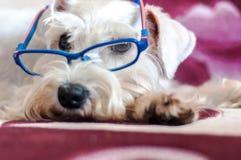 Vit miniatyrSchnauzerhund med exponeringsglas Royaltyfri Foto