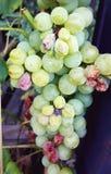 vit mogen druva i en vingård Fotografering för Bildbyråer