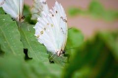 Vit Morpho butterflyon ett blad royaltyfri foto