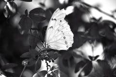 Vit Morpho fjäril royaltyfria foton