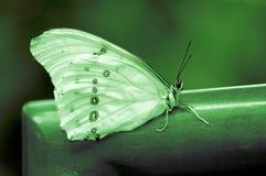 Vit Morpho fjäril arkivfoto