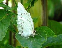 Vit Morpho fjärils- eller Morpho polyphemus arkivfoto
