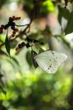 Vit Morpho fjärilsMorpho polyphemus arkivfoto