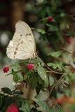 Vit Morpho fjärilsMorpho polyphemus fotografering för bildbyråer