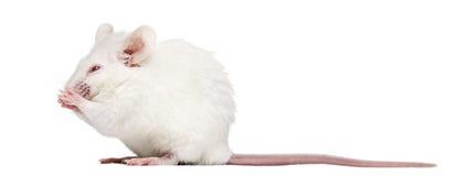 Vit mus för albino tvätta sig, Mus musculus, Royaltyfri Bild