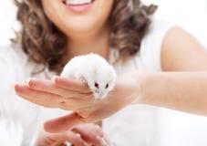 Vit mus i kvinnliga händer Arkivbilder