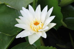 Vit näckros, blommor av Thailand Fotografering för Bildbyråer
