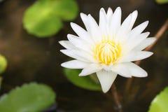 Vit näckros- eller lotusblommablomma på ett pund Royaltyfri Foto