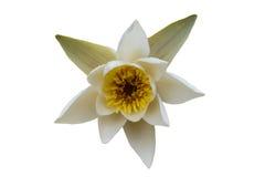 Vit näckros med isolerat gult pollen Arkivfoto