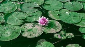 Vit näckros på en grön bakgrund Fotografering för Bildbyråer
