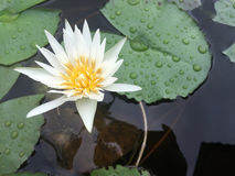 Vit näckros som svävar på en blomkruka Fotografering för Bildbyråer