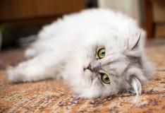 Vit närbild för persisk katt på golv Arkivfoton