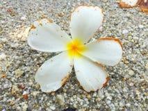 Vit natur för härlig plumeria på golv arkivfoto