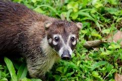 Vit-nosed coati (Nasuanaricaen) Royaltyfri Fotografi