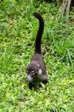 Vit-nosed coati (Nasuanaricaen) Arkivfoto