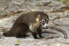 Vit-Nosed Coati på costarikansk strand Royaltyfria Bilder