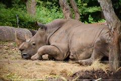 Vit noshörning royaltyfri foto