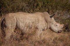 Vit noshörning Royaltyfria Bilder