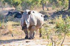 Vit noshörning arkivfoton